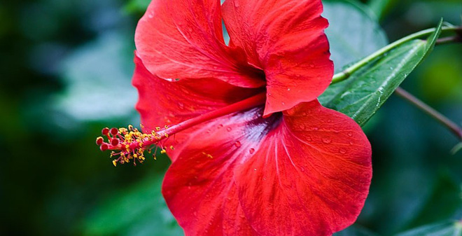 Hoa râm bụt trị sỏi thận