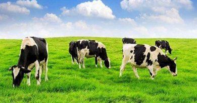 Bí ẩn mơ thấy bò - Nằm mơ thấy bò đánh con gì chắc ăn