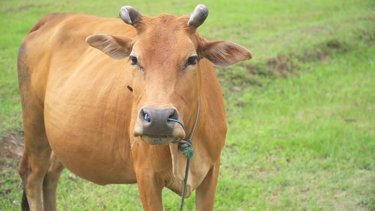 Ngủ nằm mơ thấy con bò báo hiệu điềm gì?
