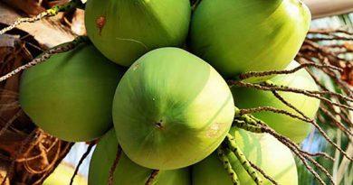 Mơ thấy quả dừa là điềm báo lành hay dữ? Giải nghĩa chiêm bao về quả dừa